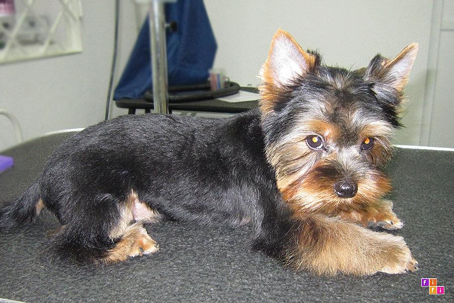 фото щенка йорка