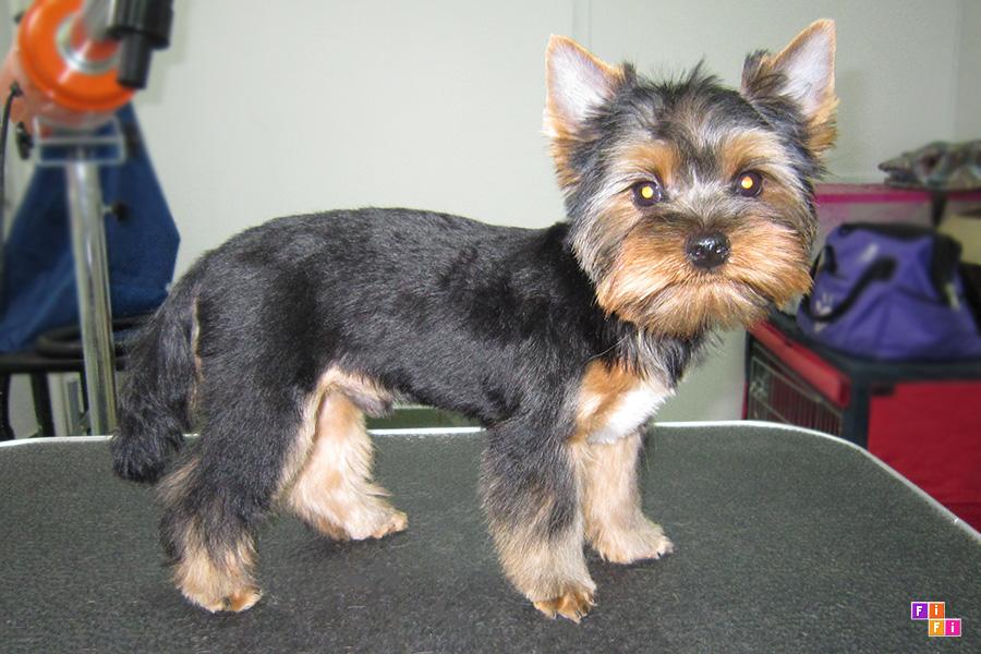 Фото стрижки для йорка мальчика щенка