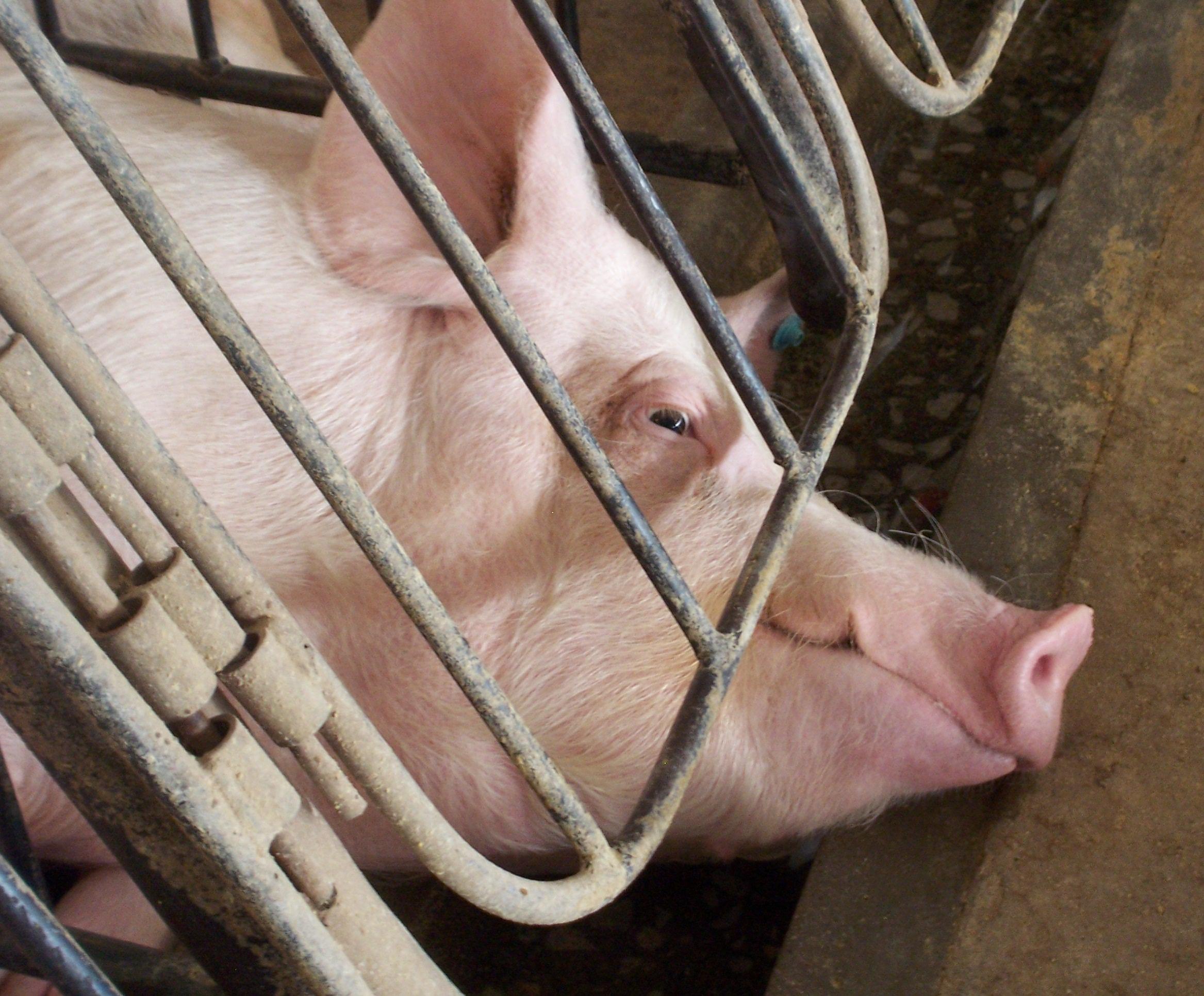 Vitória! JBS se compromete a eliminar confinamento cruel de porcas em gaiolas | Fórum Nacional de Proteção e Defesa Animal (FNPDA)