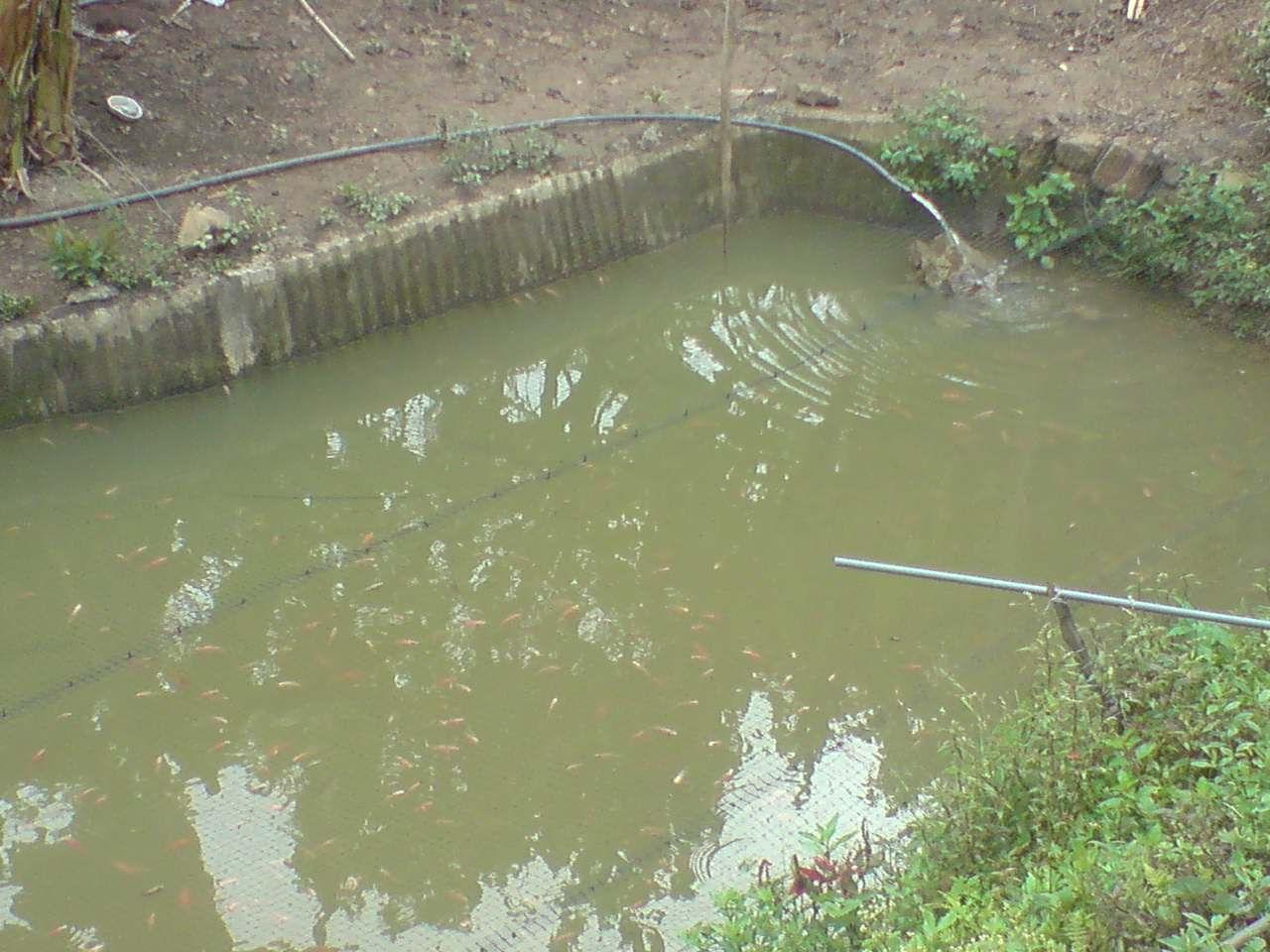 Ryg piscicultura bogota venta de mojarra y carpa cultivo for Pozos para peces