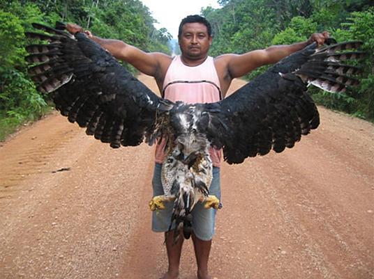 Status del Aguila Real