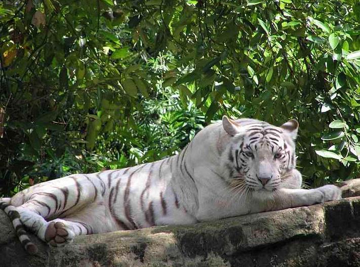 Informaci n del tigre bengala imagui for Bengala asia
