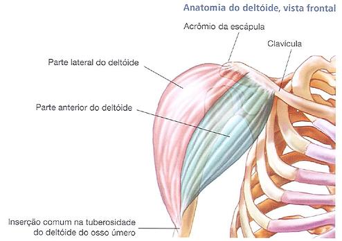 Anatomia do Ombro | learnnutrition