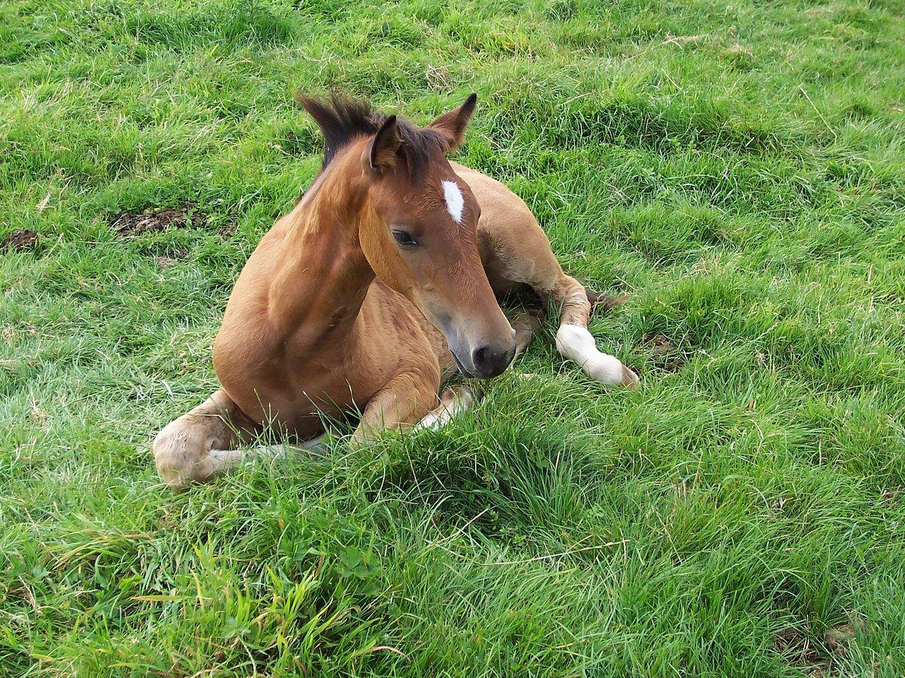 Paarden te Koop Nederland Paarden te Koop Fokkerij Van