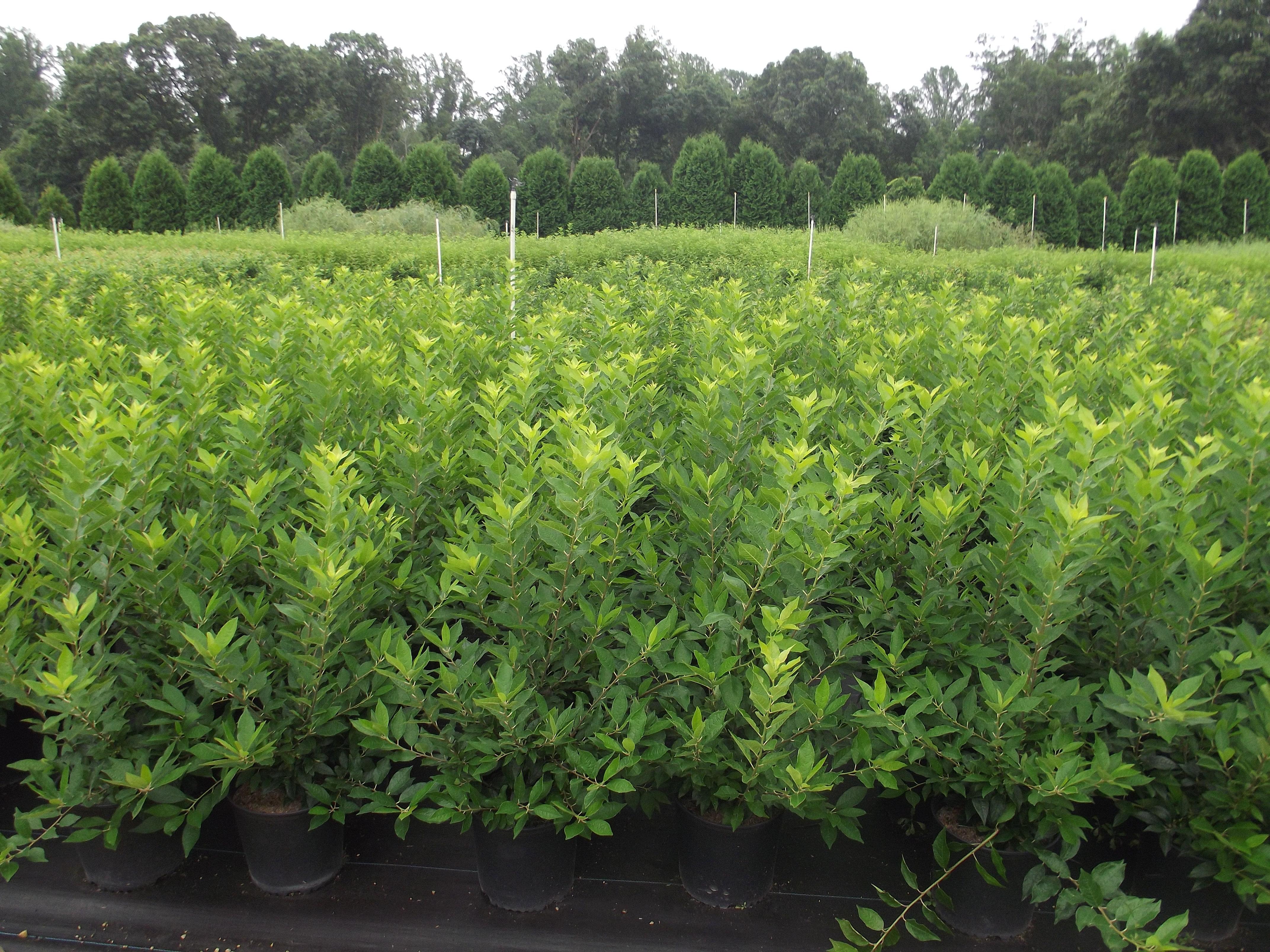 Loews Nursery | Bridgeton NJ | Ilex vert. Winter Red 3c