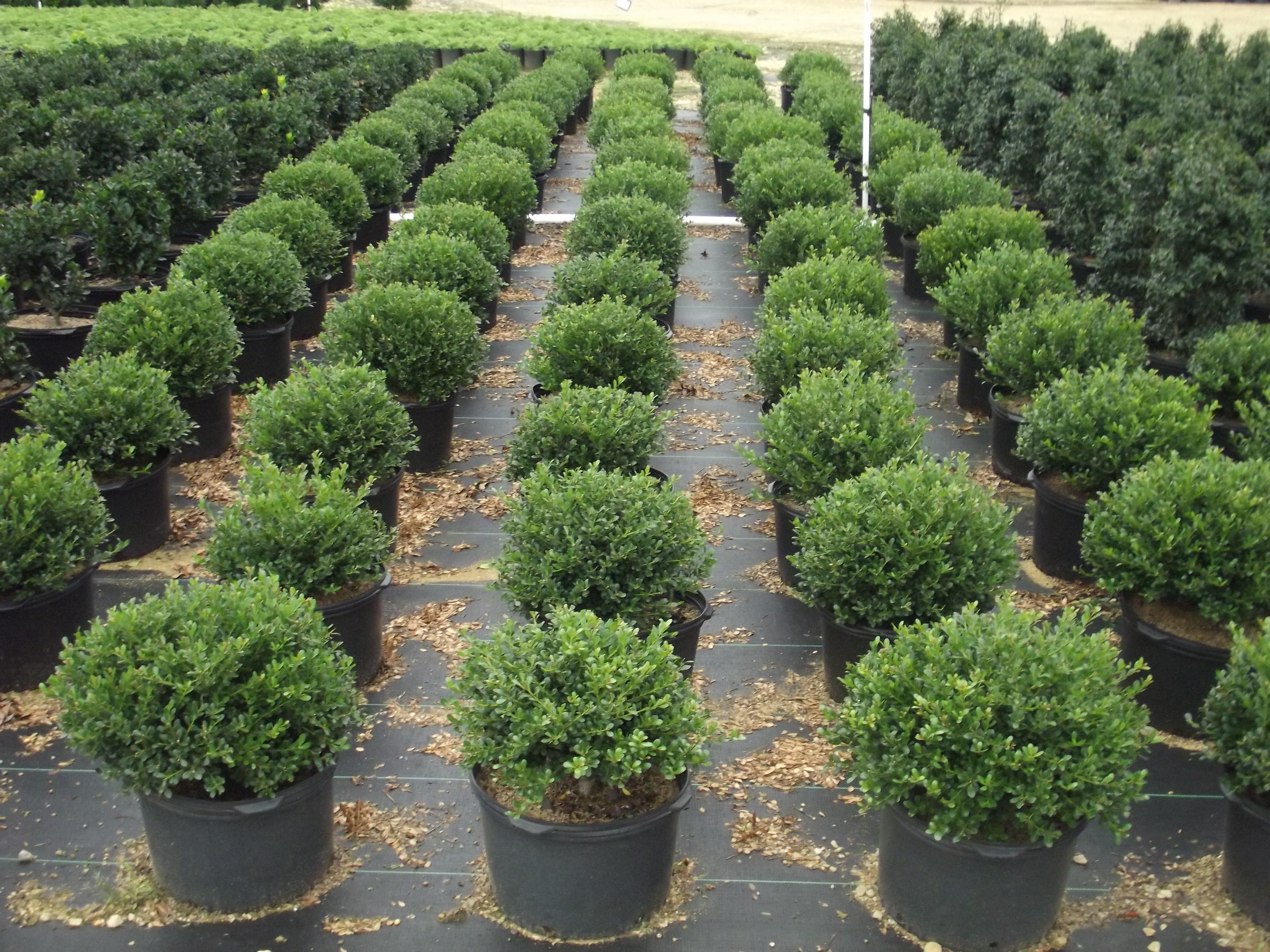 loews nursery bridgeton nj ilex compacta 5c