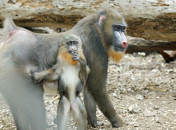 explore monkey junge