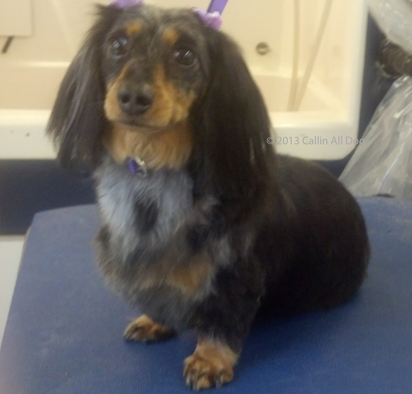 Callin all dogs mobile dog grooming spa osi long haired dachshund
