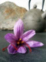 crocus sativus saffron Aude Gruissan