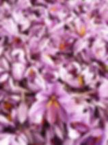 safran france languedoc saffron Aude gruissan