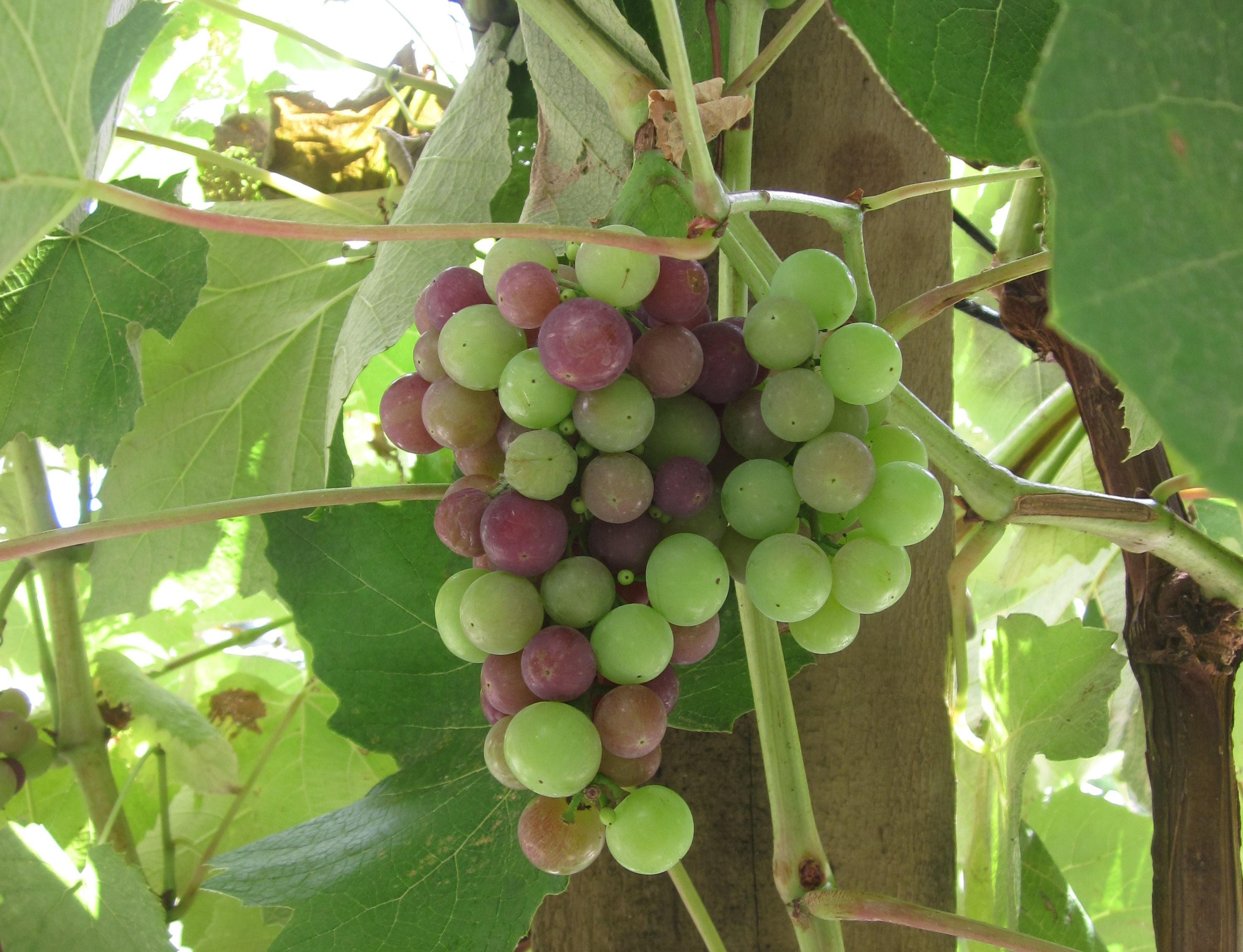 temperate fruit trees