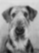 Drawing of Airedale Terrier