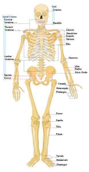 kroppens skelet