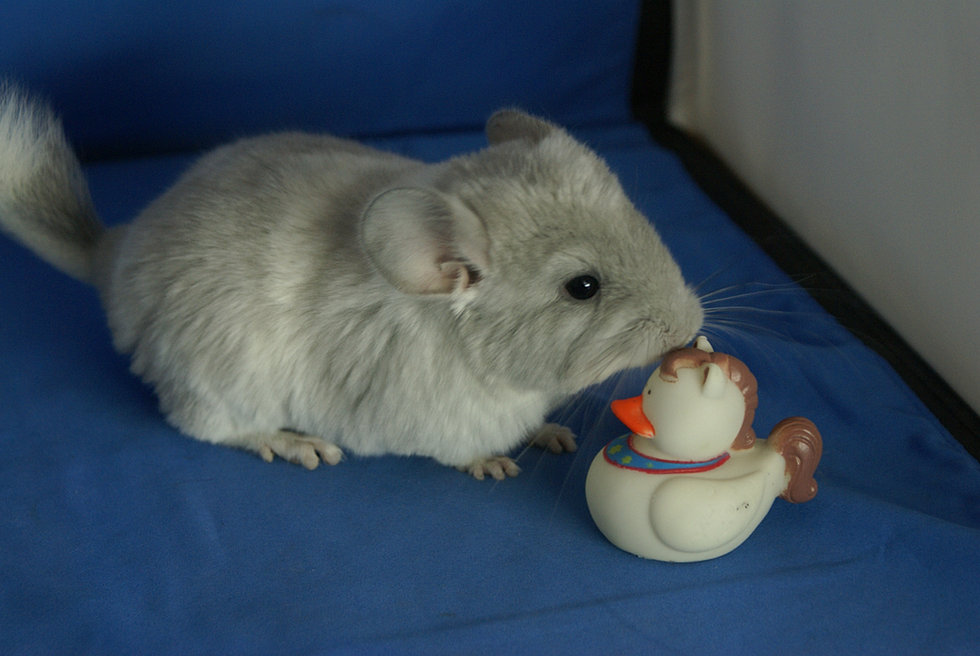 White violet chinchilla