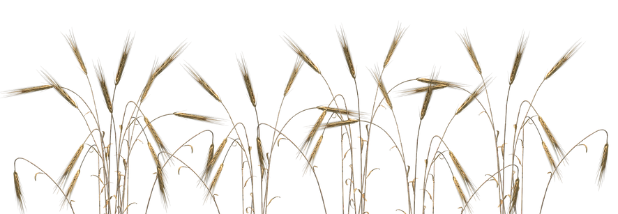 Wheat Field transparent.png