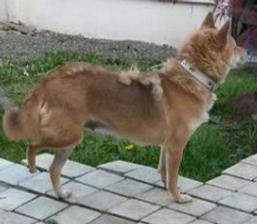 symptomen patella luxatie hond