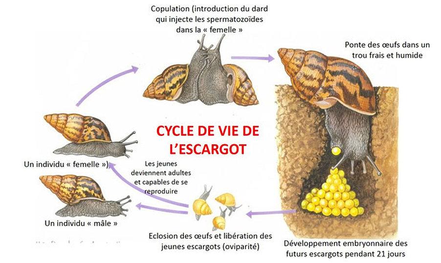 Svt college cycles de d veloppement - L escargot en hiver ...