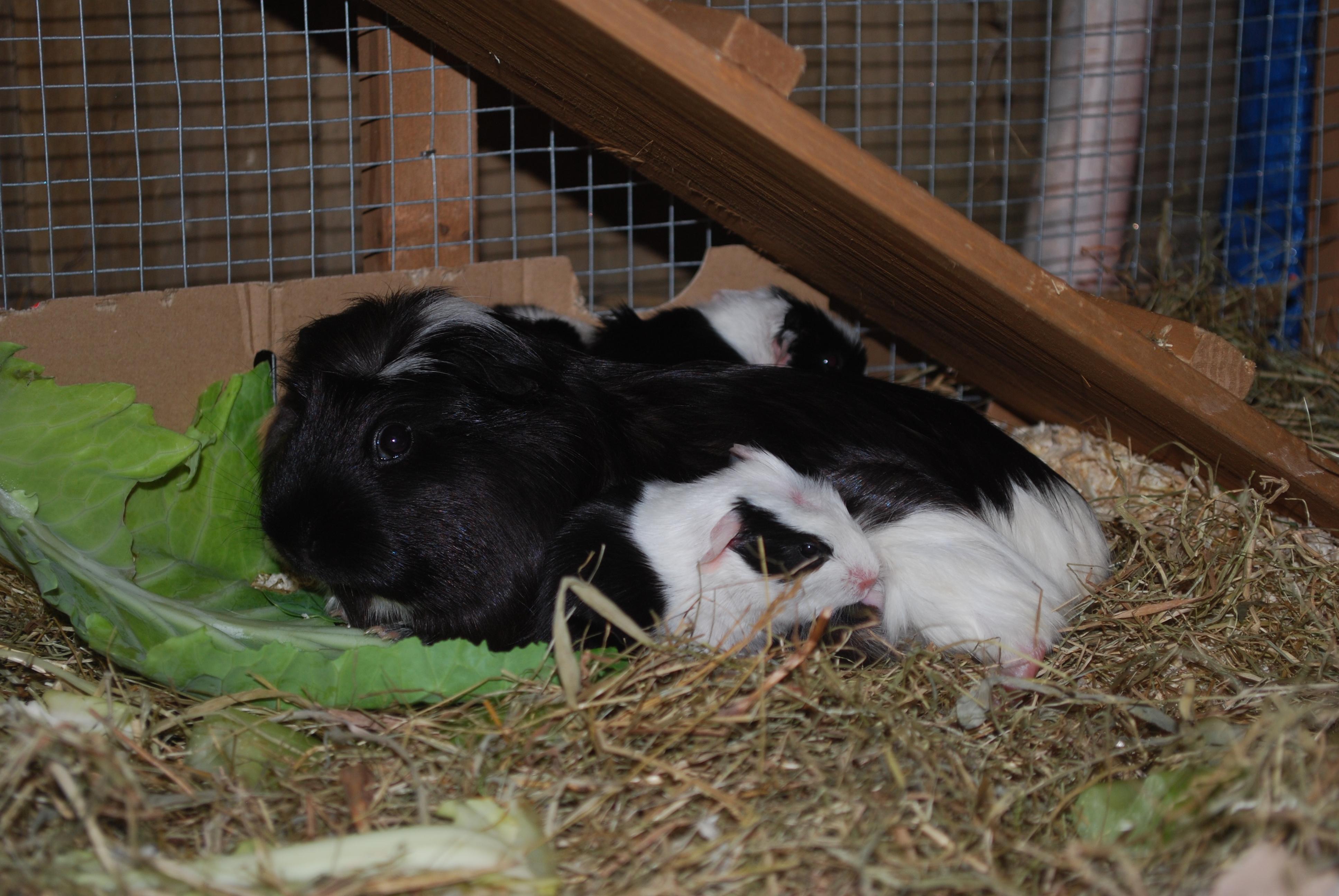 pregnant guinea pig