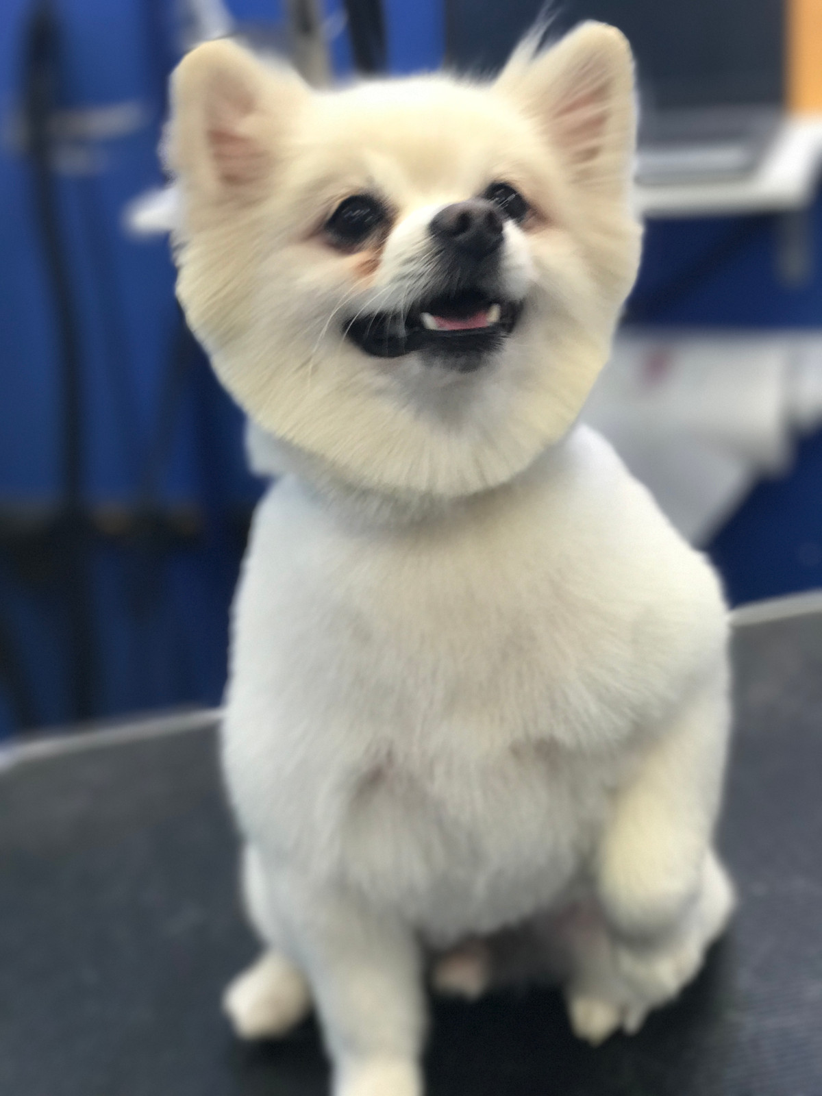Cute pomeranian haircut