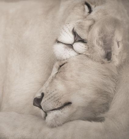 white-lions-3007982.jpg