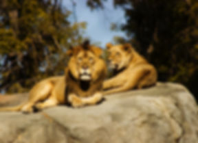 Lions at the Zoo_edited.jpg