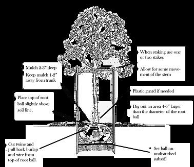 how to plant a shrub