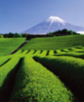 Shizuoka-Fuji-Greentea.jpg