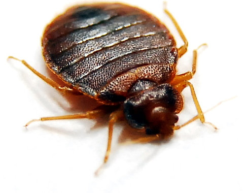 How Long Can Bed Bugs Live Dormant