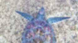 turtle in water cropped.jpg