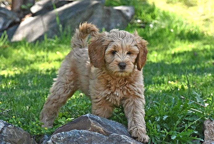 Caramel labradoodle puppy walking
