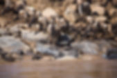 Wildebeest migration Losokwan Camp