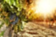 les-vignes-ensoleillees.jpg