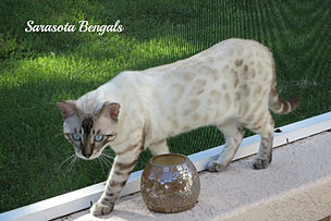 Bengal Cats For Sale Naples Florida