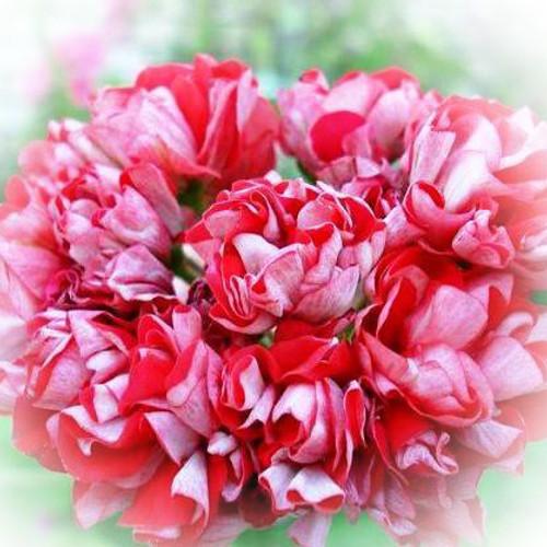 Где купить цветы герани купить розы со склада в омске