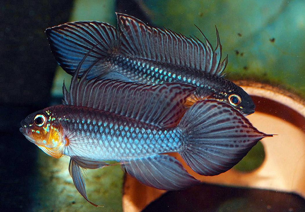 Apistogramma ramma specializing in south american dwarf for Community fish list