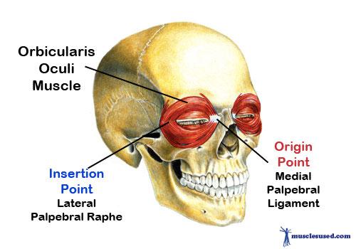 Orbicularis Oculi Muscle | mohd