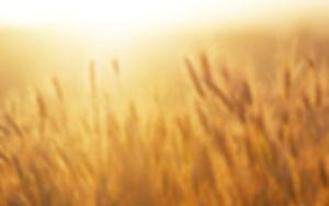 Wschód słońca nad pole pszenicy