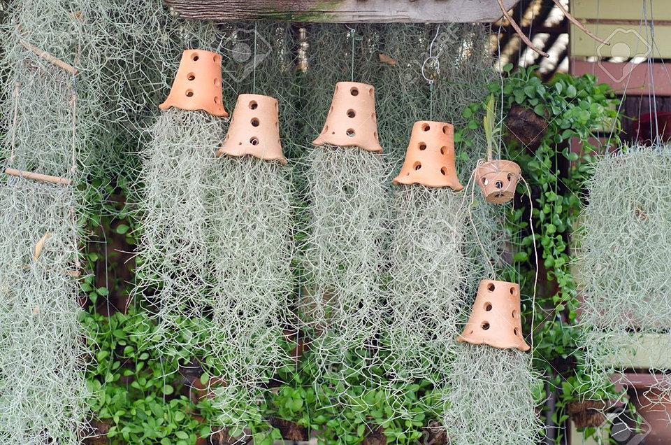 Продажа воздушных растений тилландсий для озеленения в Москве