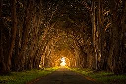 Cypress Glow