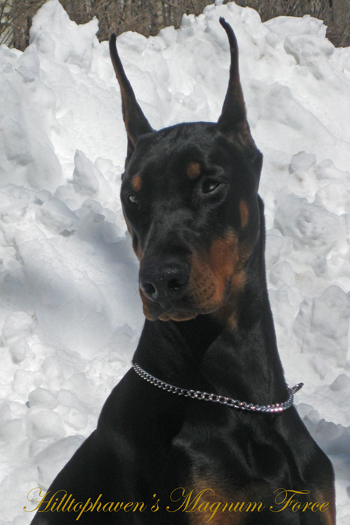 warlock doberman pinscher 18 - photo #45
