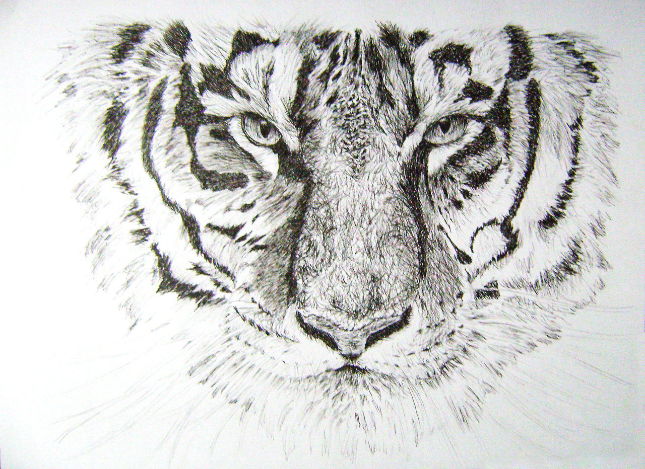 Tigre - Hachura