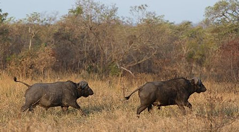 Cape Buffalo Hunting.jpg