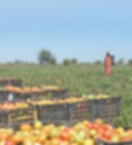tomato-crates-field.jpg
