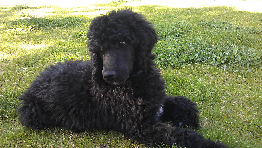 black standard poodle puppy - photo #43