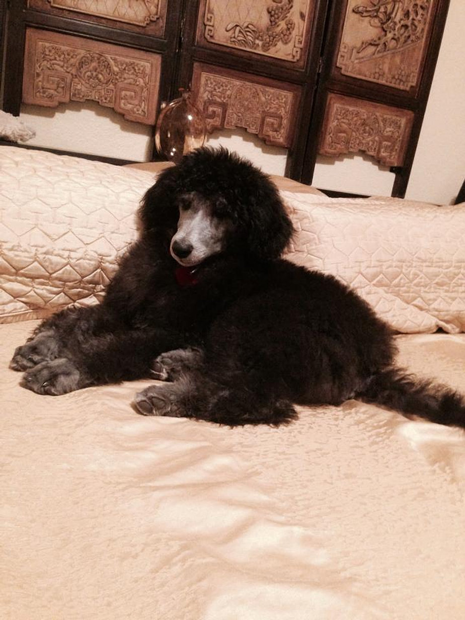 Image Result For Poodles For Sale In Az