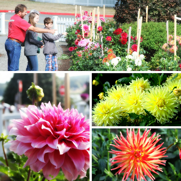 Take A Walk Through The Garden And Find Your Favorite. Be Sure To LIKE Them  On Facebook At Kitsap County Dahlia Society (KCDS) To Stay Up To Date On  Their ...