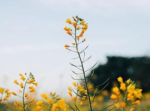 Senap blommor