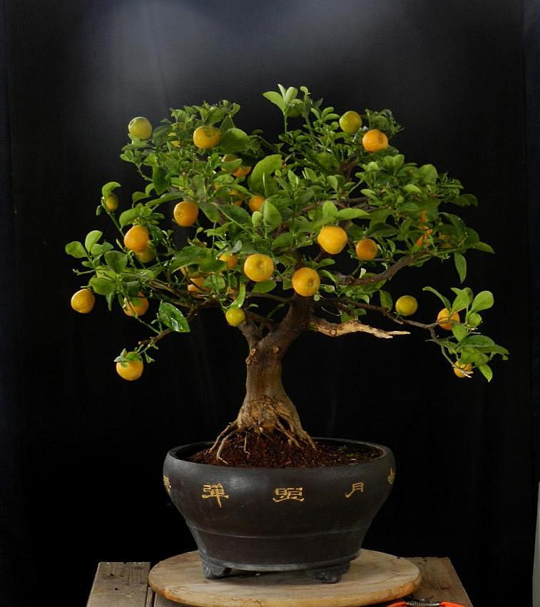 citrus mitis calamondin. Black Bedroom Furniture Sets. Home Design Ideas
