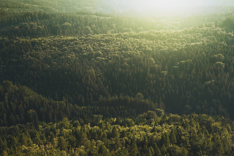 conifer-daylight-evergreen-forest-572937