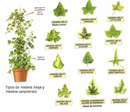 Plantas ornamentales y sus partes imagui for Clases de plantas ornamentales